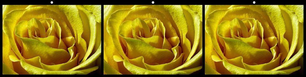 A Rose of Yellow by Kevin Harvey, Folkestone, Kent England Honorable Mention