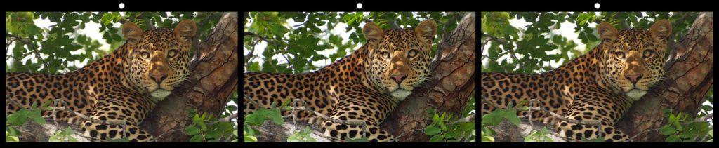 Botswana Leopard by Steve Hughes, Ellijay, GA USA