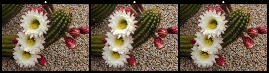 White Triplets by Elizabeth Mitofsky, Sun City West, AZ USA