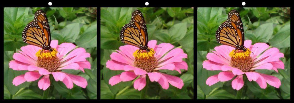 Monarch on Pink Zinnia by Geoff Peters, Fairfax, VA USA