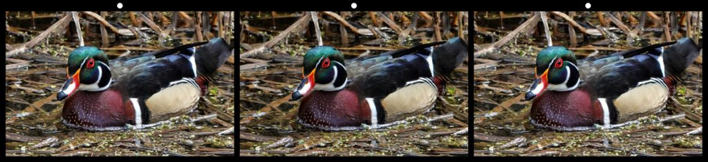 Male Wood Duck by George Themelis, Brecksville, OH USA