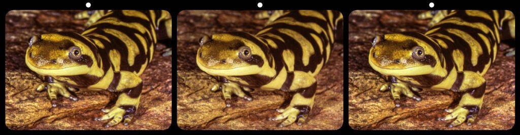 Mark Bloomberg, Tiger Salamander